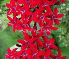christmas plants happy pentas mas, christmas decorations, flowers, gardening, outdoor living, seasonal holiday decor