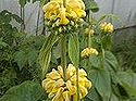 q how to recognize a phlomis perennial plant, flowers, gardening, perennial, The blooms stack up