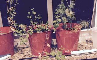 how much light to give indoor grown herbs, container gardening, gardening