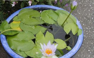 grow a waterlily in a pot, diy, flowers, gardening, how to, ponds water features