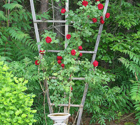 how to grow climbing roses on a trellis