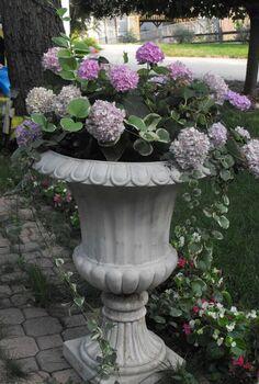 my container gardening, container gardening, flowers, gardening, hydrangea, Hydrangea