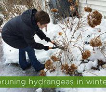 pruning hydrangeas in winter smart move or amateur mistake, flowers, gardening, hydrangea