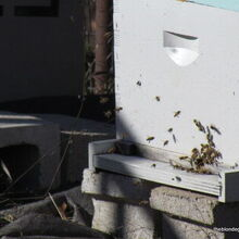 if you see a bee in the winter, gardening, homesteading, Is it spring yet