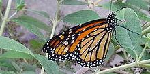 creating a monarch butterfly garden, gardening, pets animals, Monarch Butterfly