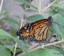 creating a monarch butterfly garden, gardening, pets animals, Monarch Butterfly