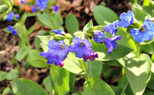 what can i plant in the shade, flowers, gardening, perennial, Lungwort