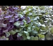 microgreens good for you and easy, composting, gardening, go green, homesteading, Grow Micro Greens by Caley s Kitchen Garden