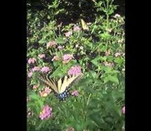 nice butterfly vide, pets animals