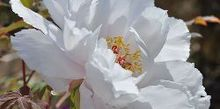 how to plant care for a tree peony, flowers, gardening, how to