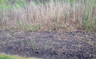 q fertilizer weed killer, gardening, landscape, This is my back yard it backs up to a wetlands In the foreground you could see small shoots of cattail sprout through the surface And taller ones in the back ground I cut back six feet into the wetlands and have been using Orthros Ground Clear I acquired two Cocker Spanials and I would like to find a home remedy that I could use on the cat tails and other weeds that won t harm my dogs I also would like any information on home made lawn fertilzer for the same reason the dogs