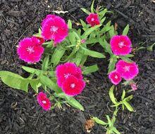 q pink perennial id, flowers, gardening, perennial, What is this spring summer perennial