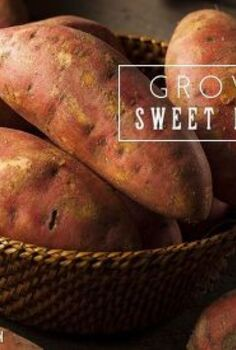 growing sweet potatoes, gardening, how to