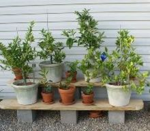 growing citrus in containers, container gardening, gardening