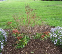 q trimming bushes, gardening, Planted last autumn it appears as though the top of the bush is dead when it is actually still pliable it just has no leaves