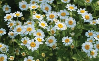 creating a cottage garden from seed, flowers, gardening, Feverfew