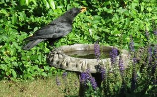 q crow that visits our bird bath killing backyard birds, gardening, outdoor living, pets animals