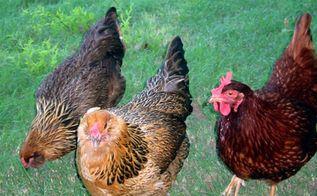 backyard chickens 101, go green, homesteading, outdoor living