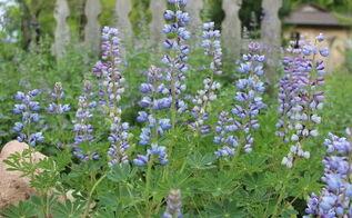 growing native lupines in sandy soil, flowers, gardening, landscape
