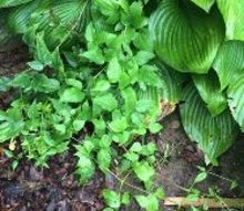 q plant identification, gardening, It s bright green and other poison ivy in our yard is darker