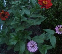 hello hello hello daisies zinnias gladiolus, flowers, gardening