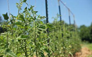 how to build tomato trellis, gardening, homesteading, how to