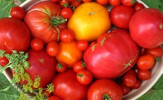 how to grow a new batch of tomato plants super fast in 1 week, gardening, homesteading, how to