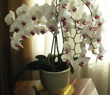 q orchid bloom time, container gardening, flowers, gardening, home decor