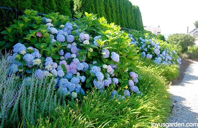 Changing the color of hydrangeas hometalk - Plants with blue flowers a splash of colors in the garden ...