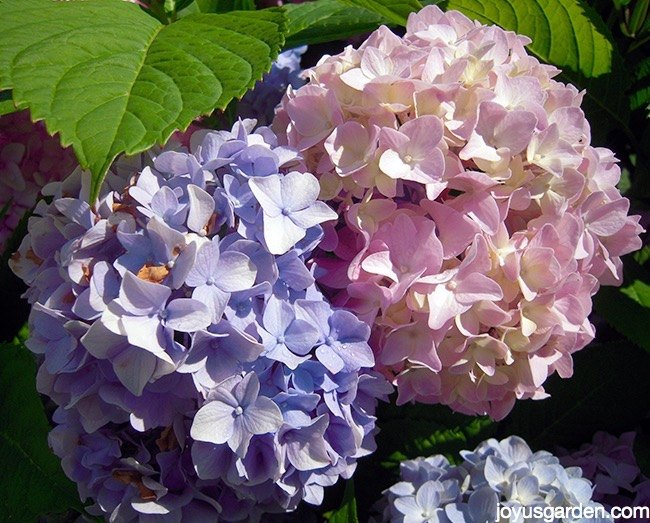 Changing The Color Of Hydrangeas Hometalk
