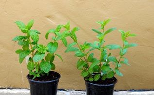 how to grow great mint