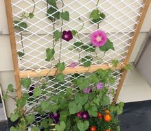 q what is wrong with my morning glories, flowers, gardening