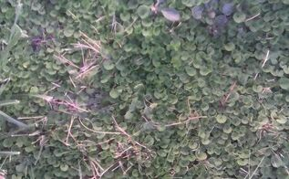 q what kind of weed is this in my grass, gardening, lawn care, plant id