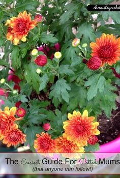 the easiest guide for potted mums, flowers, gardening, hibiscus, how to