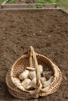 planting garlic in the fall, gardening