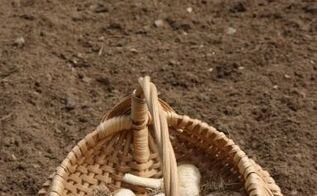 planting garlic in the fall, gardening
