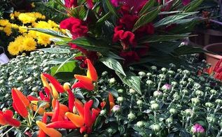 fall planting tips color interest for all seasons, composting, flowers, gardening, Decorative Peppers