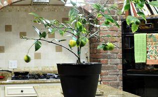 repotting my dwarf meyer lemon tree, container gardening, gardening, how to