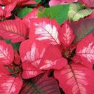 6 tips to keep your poinsettias looking good this holiday season, gardening