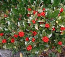 fall winter garden color for long island and the northeast, gardening, hydrangea, landscape, outdoor living, Skimmia