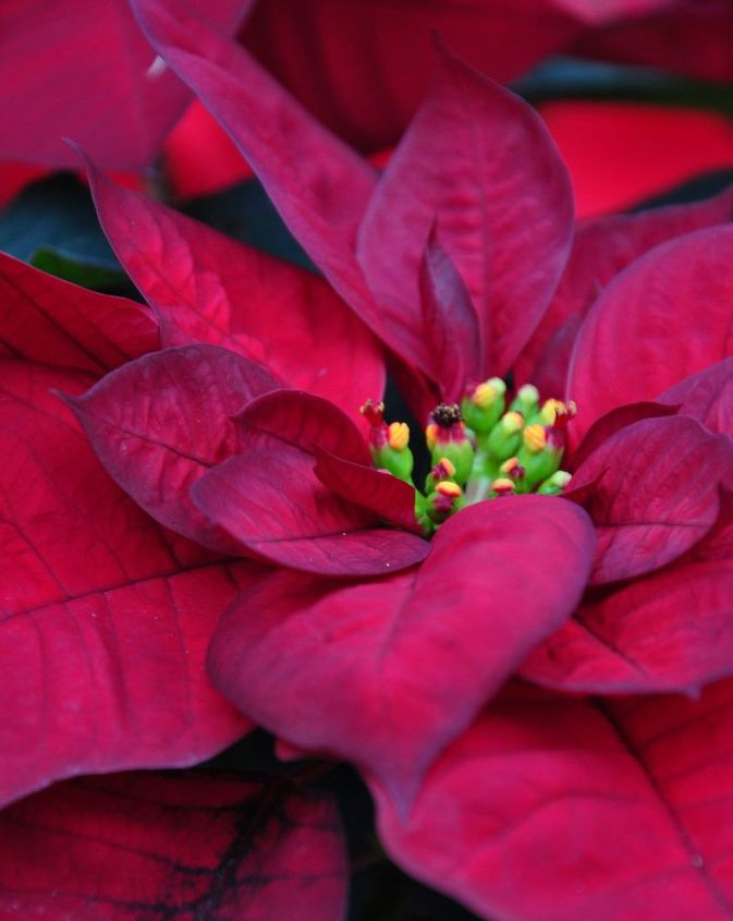 How To Care For A Poinsettia Hometalk