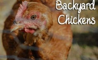 10 reasons why i don t have backyard chickens, homesteading