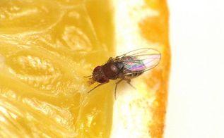 how do you get rid of fruit flies, pest control, How do you get rid of fruit flies