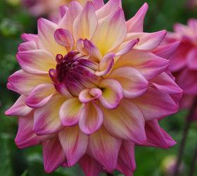 Backyard Flower Farmer : gardentourflowersfarmdahliasflowersgardening1jpg?size=1200×628