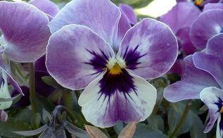 autumn is here, flowers, gardening, Viola
