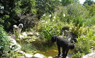 water gardening ponds water features waterfalls koi ponds outdoor lifestyles, gardening, outdoor living, ponds water features, And our pups love it for watching turtle TV