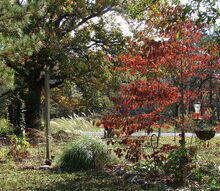 fall in rural north alabama, flowers, landscape, outdoor living, Front and center of my yard a dogwood tree in its fall glory