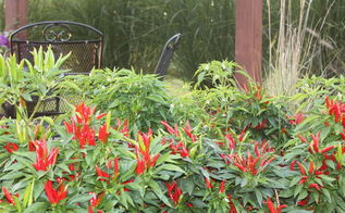 ornamental peppers in the landscape spice up your flower beds and your taste buds, flowers, gardening, landscape, outdoor living, Poinsettia peppers in full bloom add tons of color to the landscape