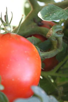 all about tomatoes growing eating and canning, gardening, A ripened Celebrity tomato waiting to be picked from the vine
