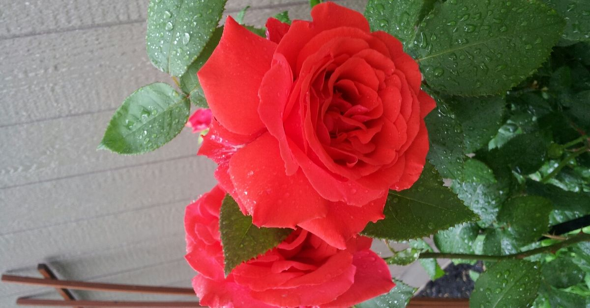 Roses Growing Beautiful With Coffee Grounds Hometalk
